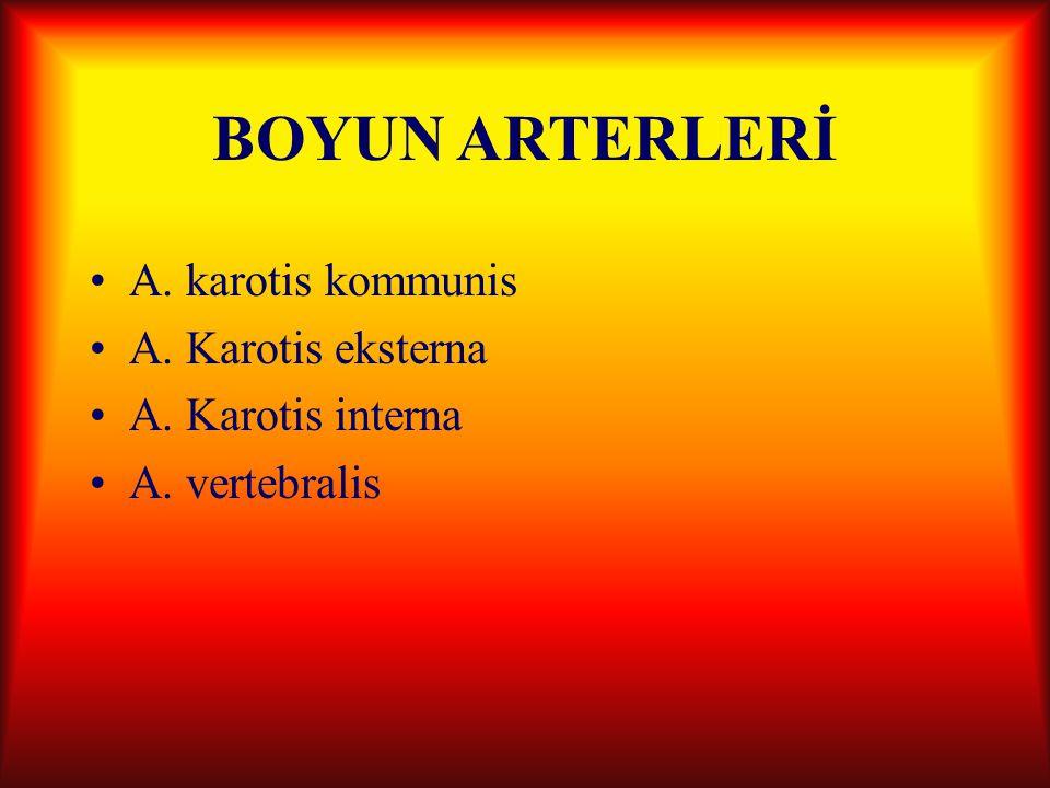 BOYUN ARTERLERİ A. karotis kommunis A. Karotis eksterna
