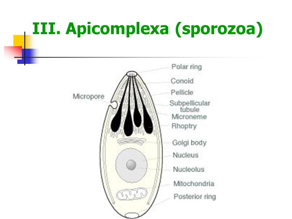 III. Apicomplexa (sporozoa)