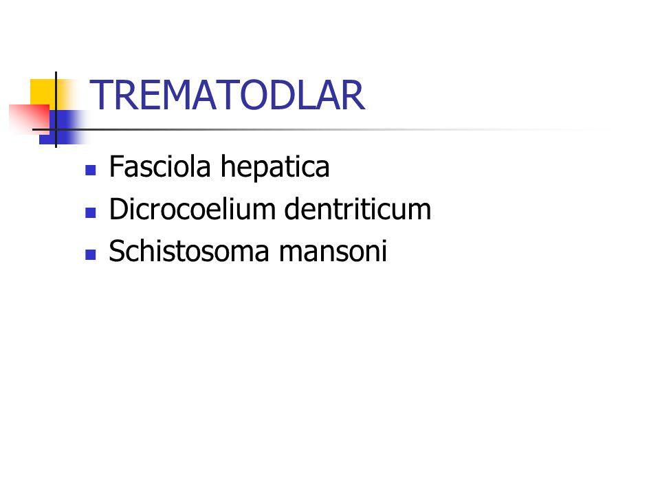 TREMATODLAR Fasciola hepatica Dicrocoelium dentriticum