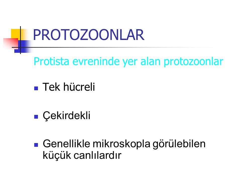 PROTOZOONLAR Protista evreninde yer alan protozoonlar Tek hücreli