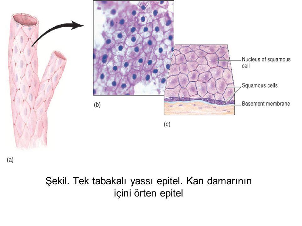 Şekil. Tek tabakalı yassı epitel. Kan damarının içini örten epitel