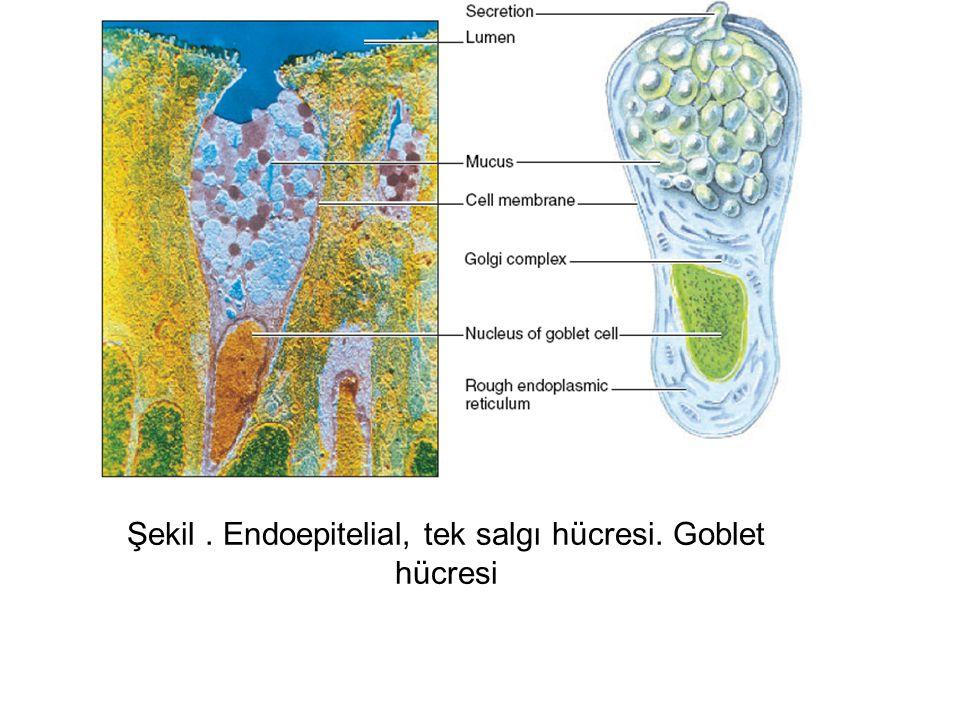 Şekil . Endoepitelial, tek salgı hücresi. Goblet hücresi