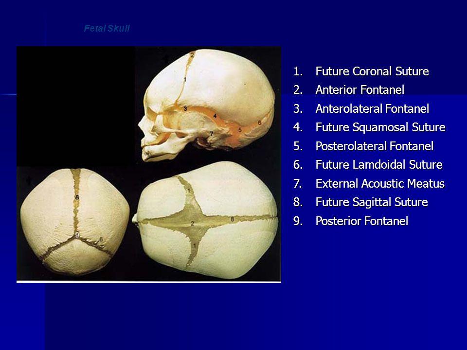 Anterolateral Fontanel 4. Future Squamosal Suture 5.