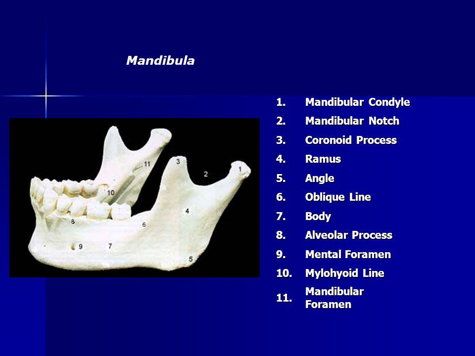 Mandibula 1. Mandibular Condyle 2. Mandibular Notch 3.
