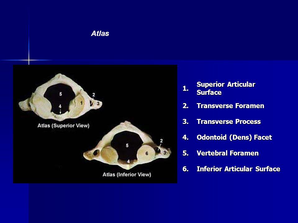 Atlas 1. Superior Articular Surface 2. Transverse Foramen 3.