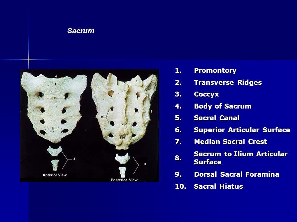Sacrum 1. Promontory 2. Transverse Ridges 3. Coccyx 4. Body of Sacrum
