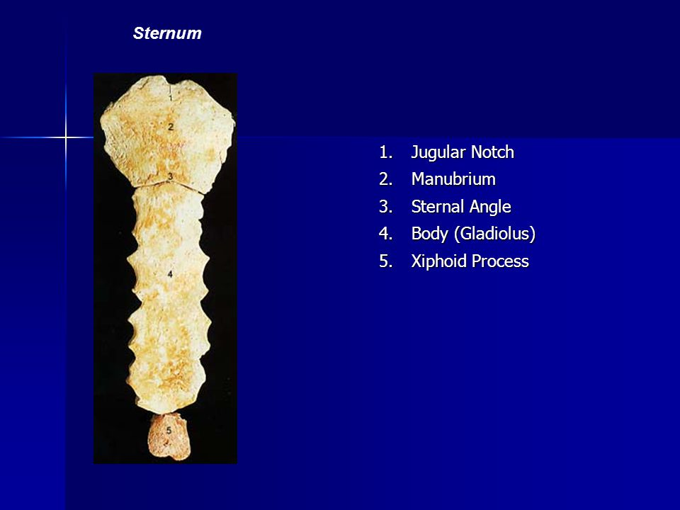 Sternum 1. Jugular Notch 2. Manubrium 3. Sternal Angle 4. Body (Gladiolus) 5. Xiphoid Process