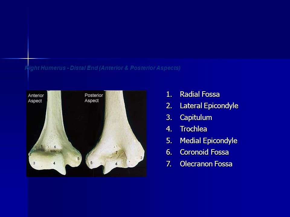Right Humerus - Distal End (Anterior & Posterior Aspects)