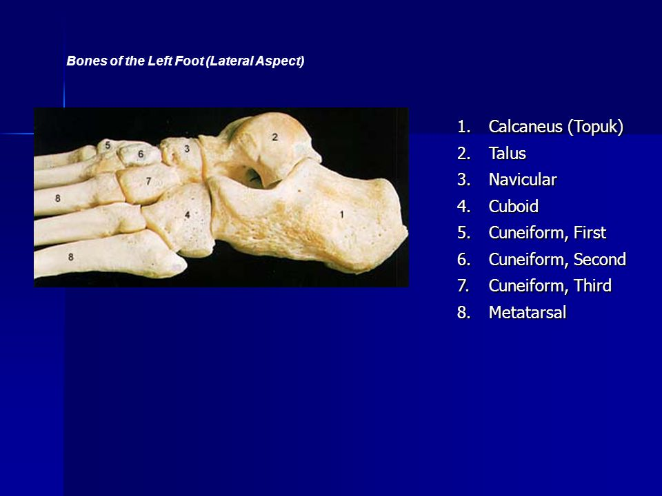 Bones of the Left Foot (Lateral Aspect)