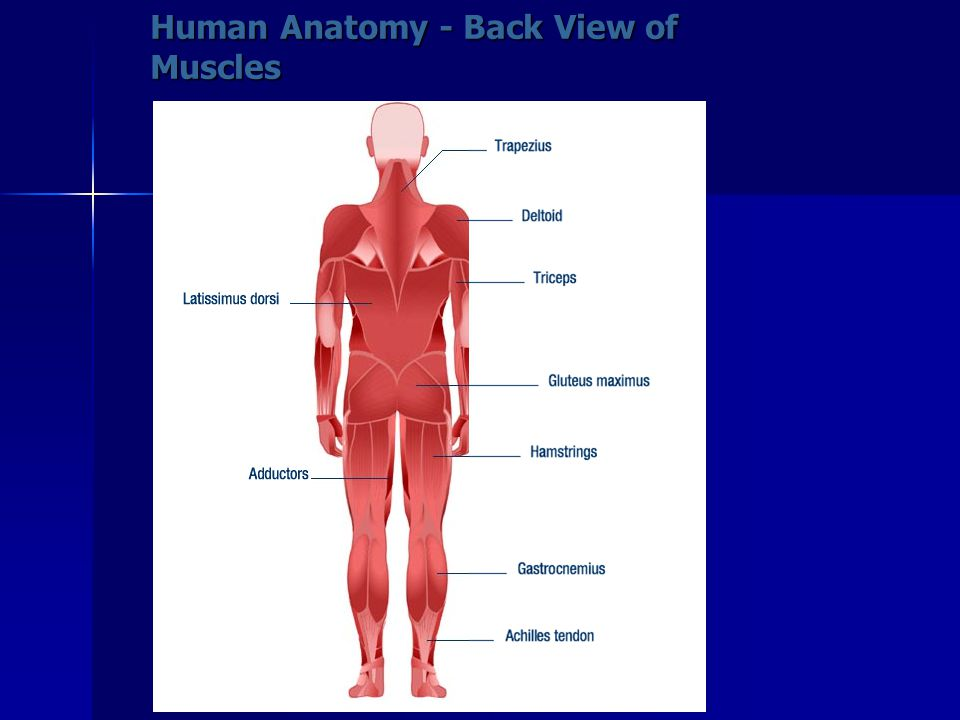 Human Anatomy - Back View of Muscles