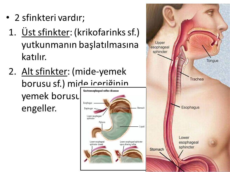 2 sfinkteri vardır; Üst sfinkter: (krikofarinks sf.) yutkunmanın başlatılmasına katılır.