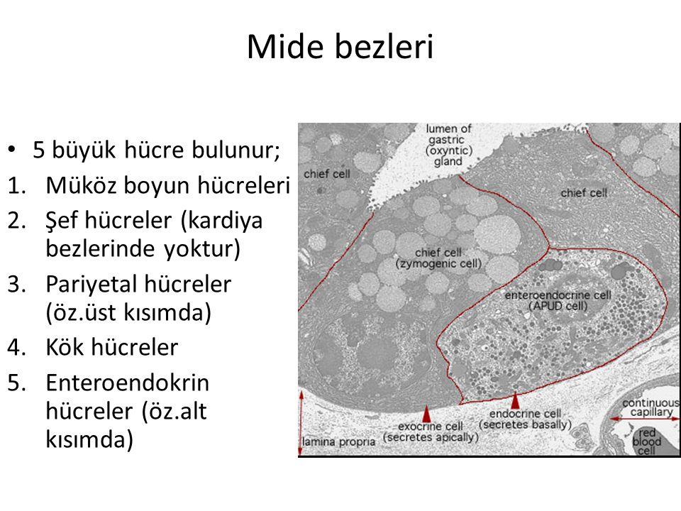 Mide bezleri 5 büyük hücre bulunur; Müköz boyun hücreleri