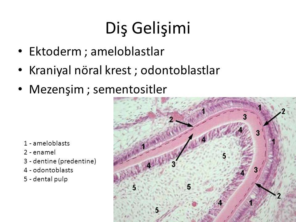 Diş Gelişimi Ektoderm ; ameloblastlar