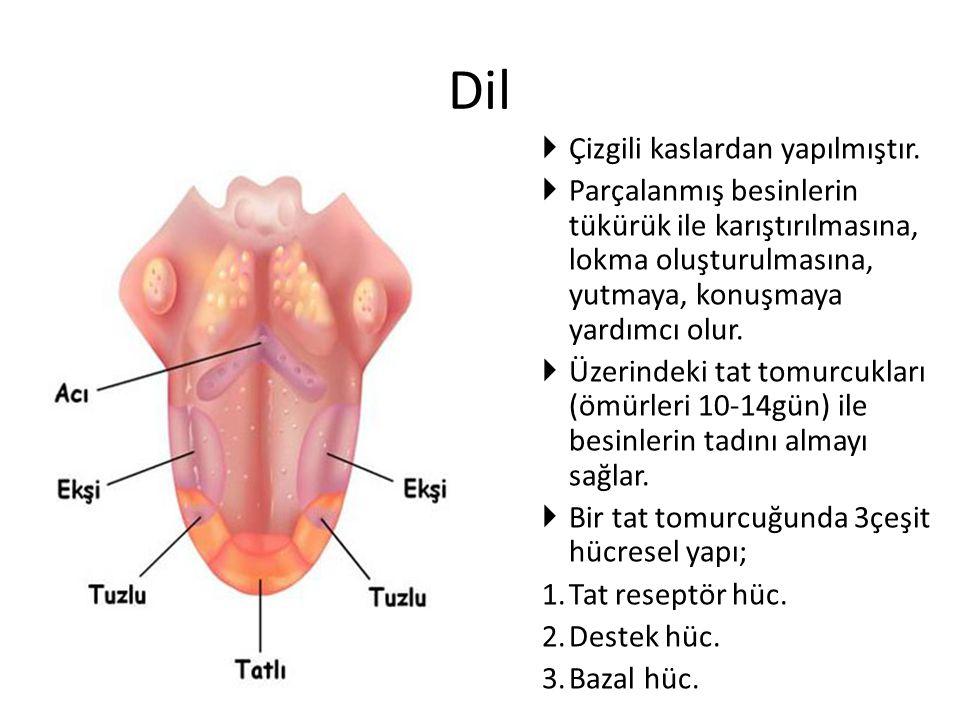Dil Çizgili kaslardan yapılmıştır.