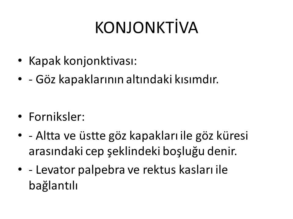 KONJONKTİVA Kapak konjonktivası: