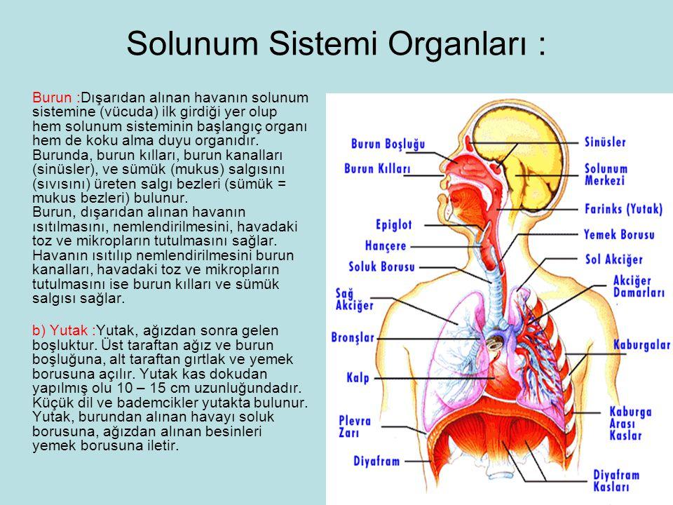 Solunum Sistemi Organları :