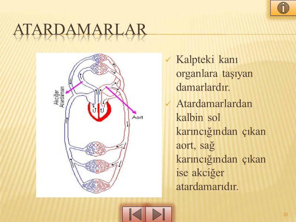 Atardamarlar Kalpteki kanı organlara taşıyan damarlardır.