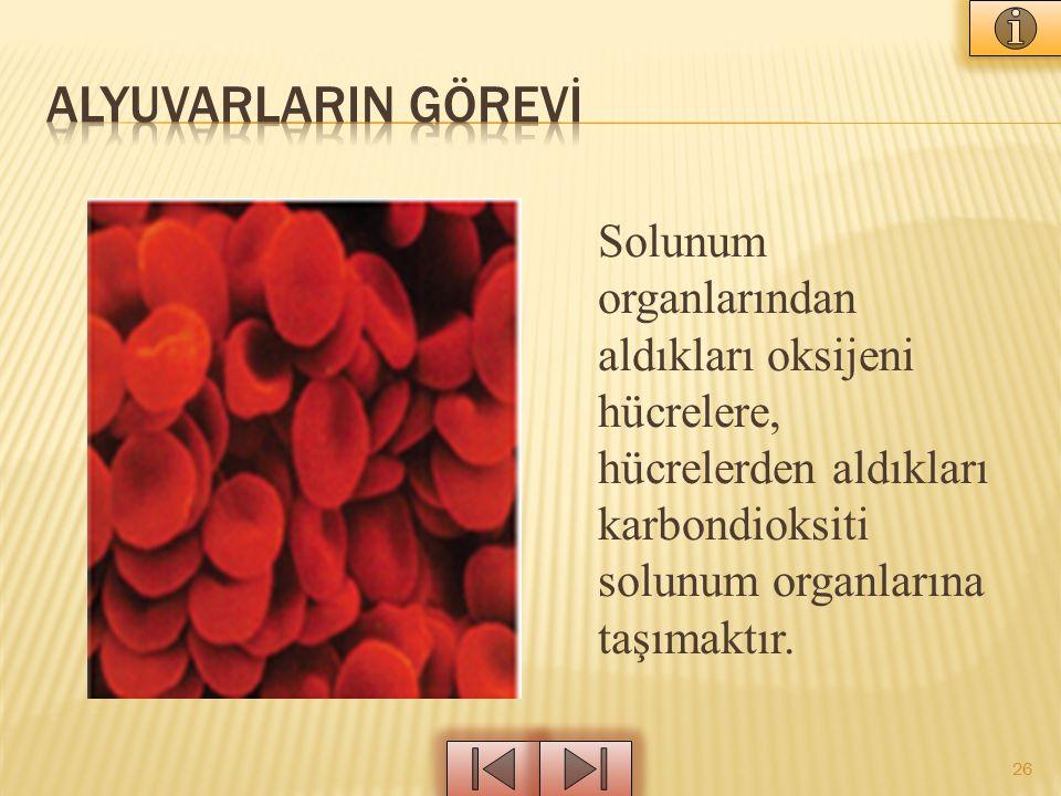 ALYUVARLARIN GÖREVİ Solunum organlarından aldıkları oksijeni hücrelere, hücrelerden aldıkları karbondioksiti solunum organlarına taşımaktır.