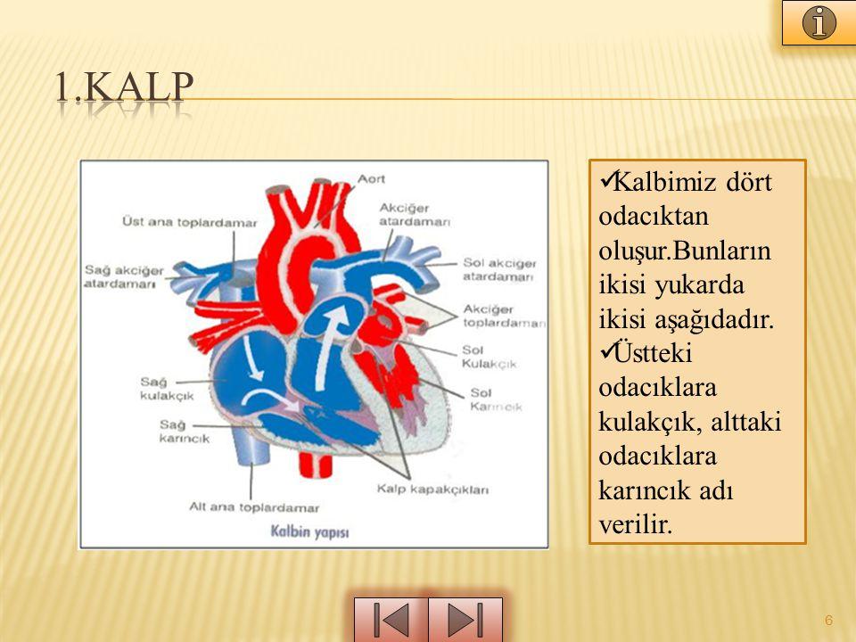 1.KALP Kalbimiz dört odacıktan oluşur.Bunların ikisi yukarda ikisi aşağıdadır.