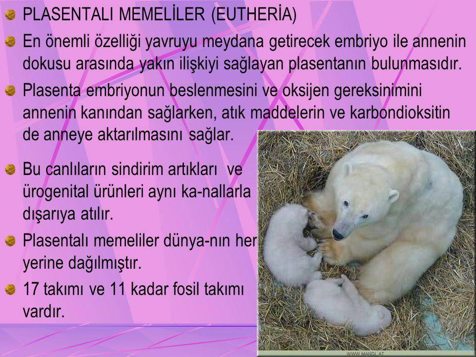 PLASENTALI MEMELİLER (EUTHERİA)
