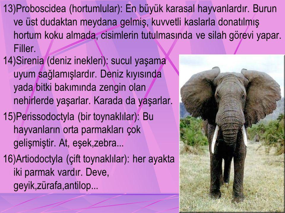 13)Proboscidea (hortumlular): En büyük karasal hayvanlardır