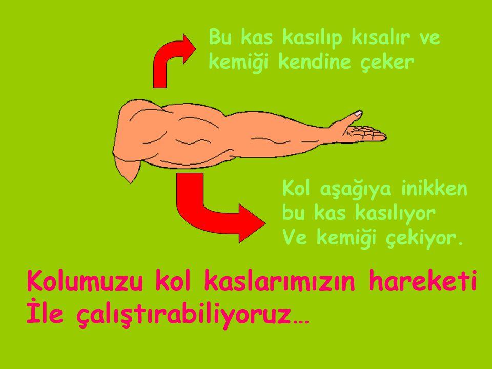 Kolumuzu kol kaslarımızın hareketi İle çalıştırabiliyoruz…