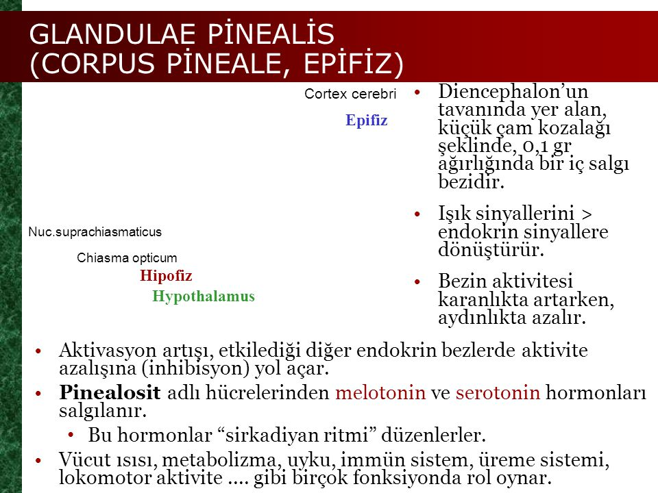 GLANDULAE PİNEALİS (CORPUS PİNEALE, EPİFİZ)