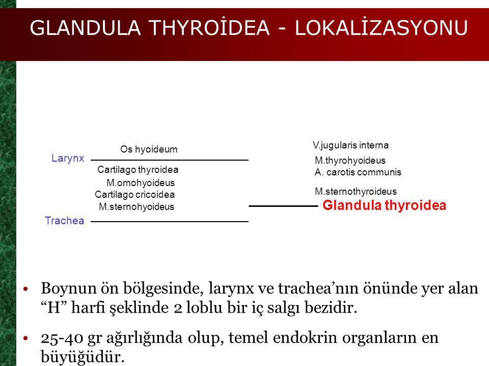 GLANDULA THYROİDEA - LOKALİZASYONU