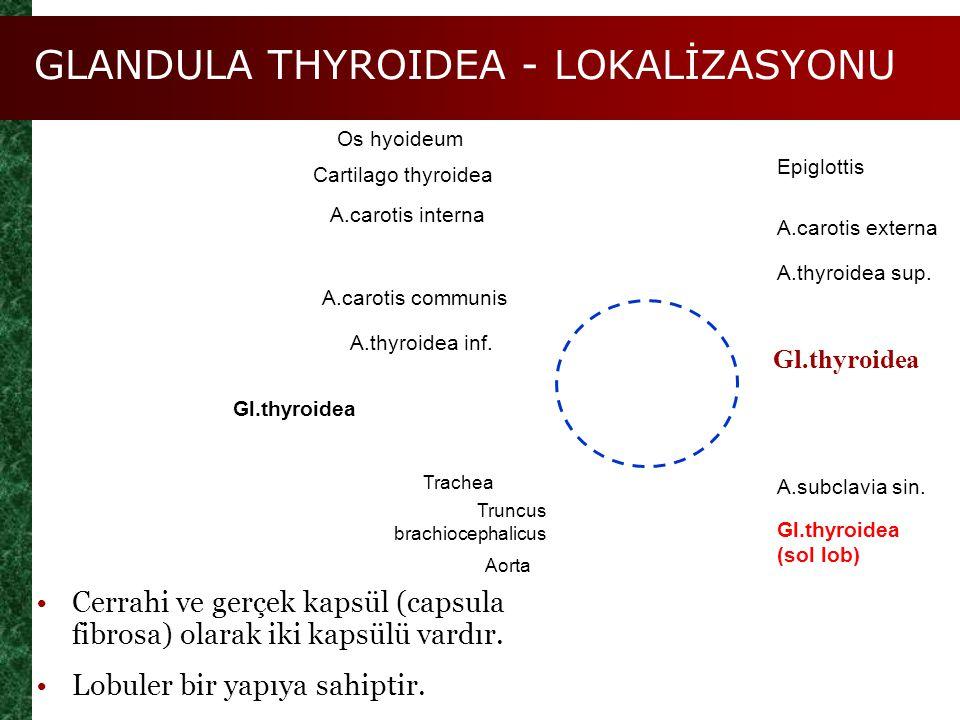 GLANDULA THYROIDEA - LOKALİZASYONU