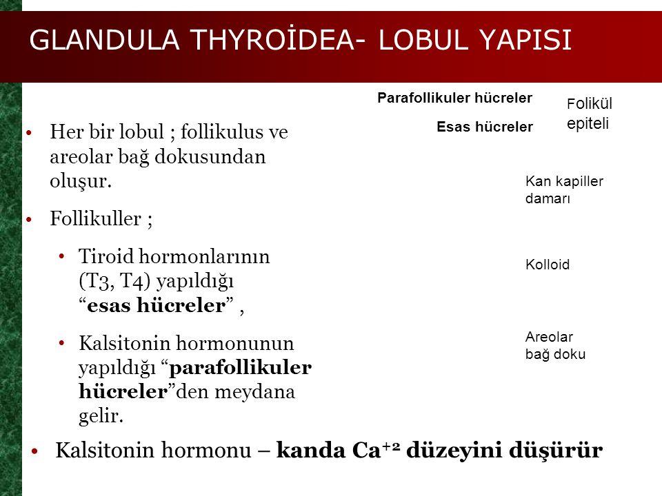 GLANDULA THYROİDEA- LOBUL YAPISI