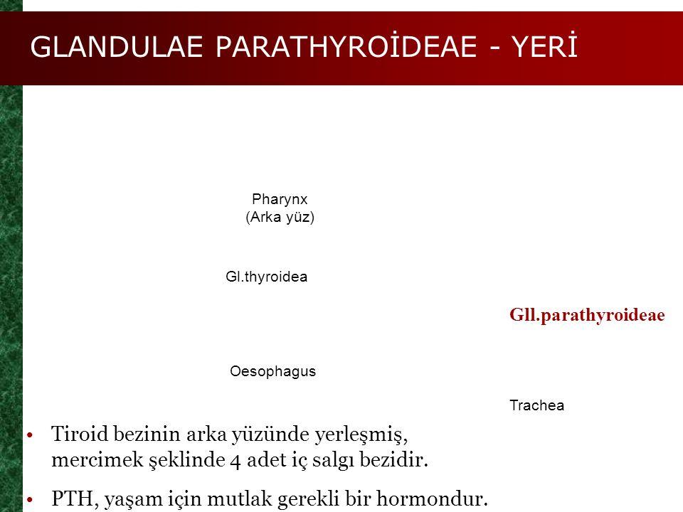 GLANDULAE PARATHYROİDEAE - YERİ