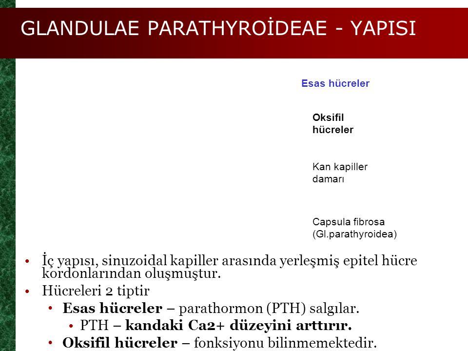 GLANDULAE PARATHYROİDEAE - YAPISI