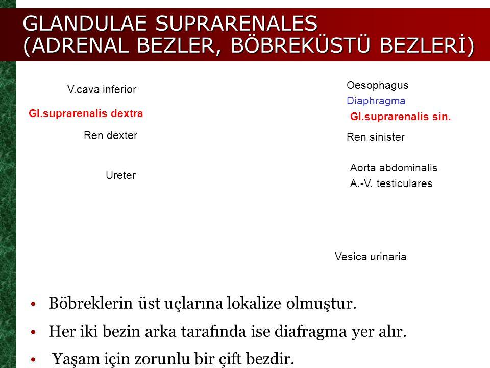 GLANDULAE SUPRARENALES (ADRENAL BEZLER, BÖBREKÜSTÜ BEZLERİ)