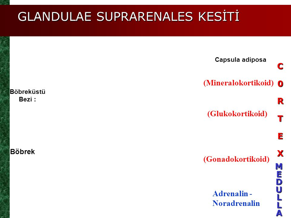 GLANDULAE SUPRARENALES KESİTİ