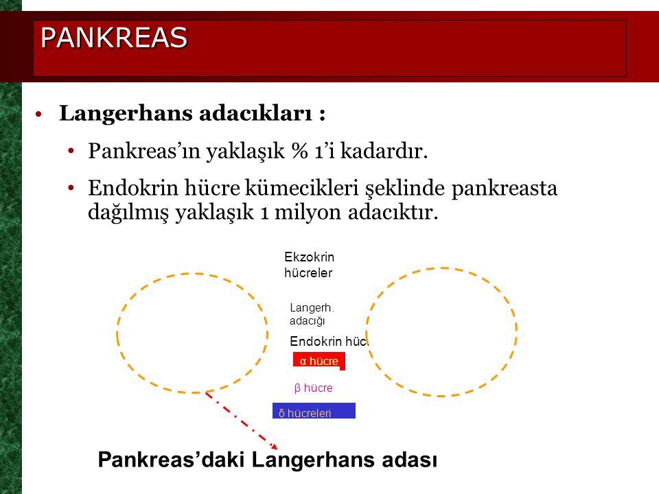 PANKREAS Langerhans adacıkları : Pankreas'ın yaklaşık % 1'i kadardır.
