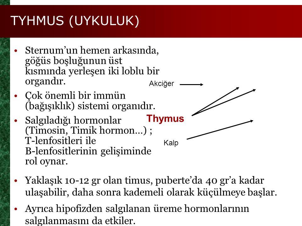 TYHMUS (UYKULUK) Sternum'un hemen arkasında, göğüs boşluğunun üst kısmında yerleşen iki loblu bir organdır.