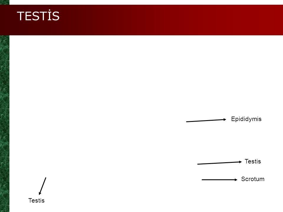 TESTİS Epididymis Testis Scrotum Testis
