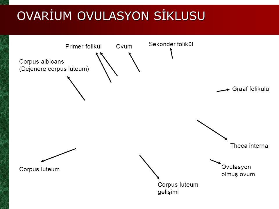 OVARİUM OVULASYON SİKLUSU