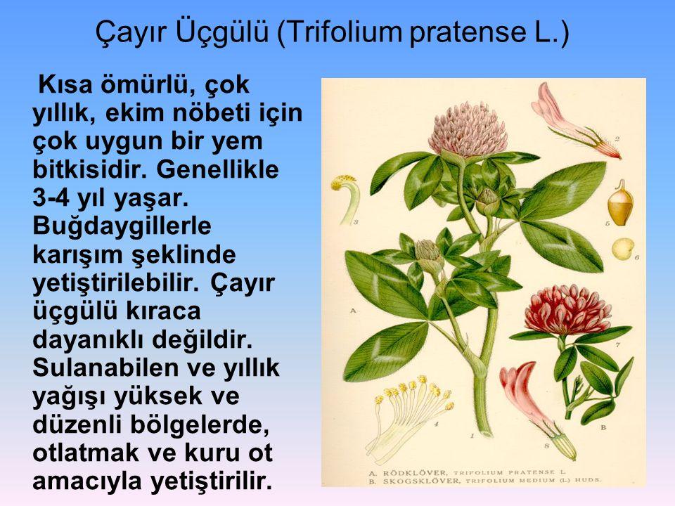 Çayır Üçgülü (Trifolium pratense L.)