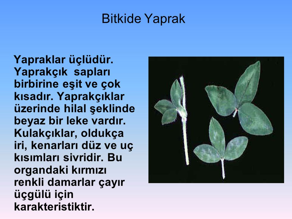 Bitkide Yaprak