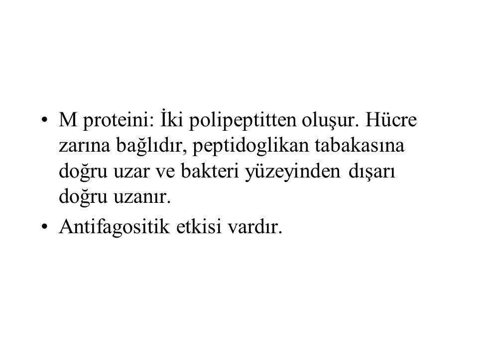 M proteini: İki polipeptitten oluşur