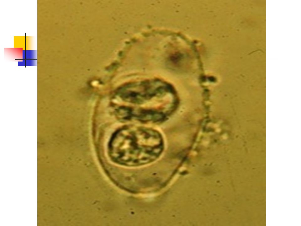 Oocysts of Isospora bel