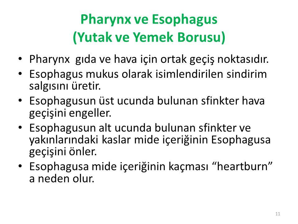 Pharynx ve Esophagus (Yutak ve Yemek Borusu)