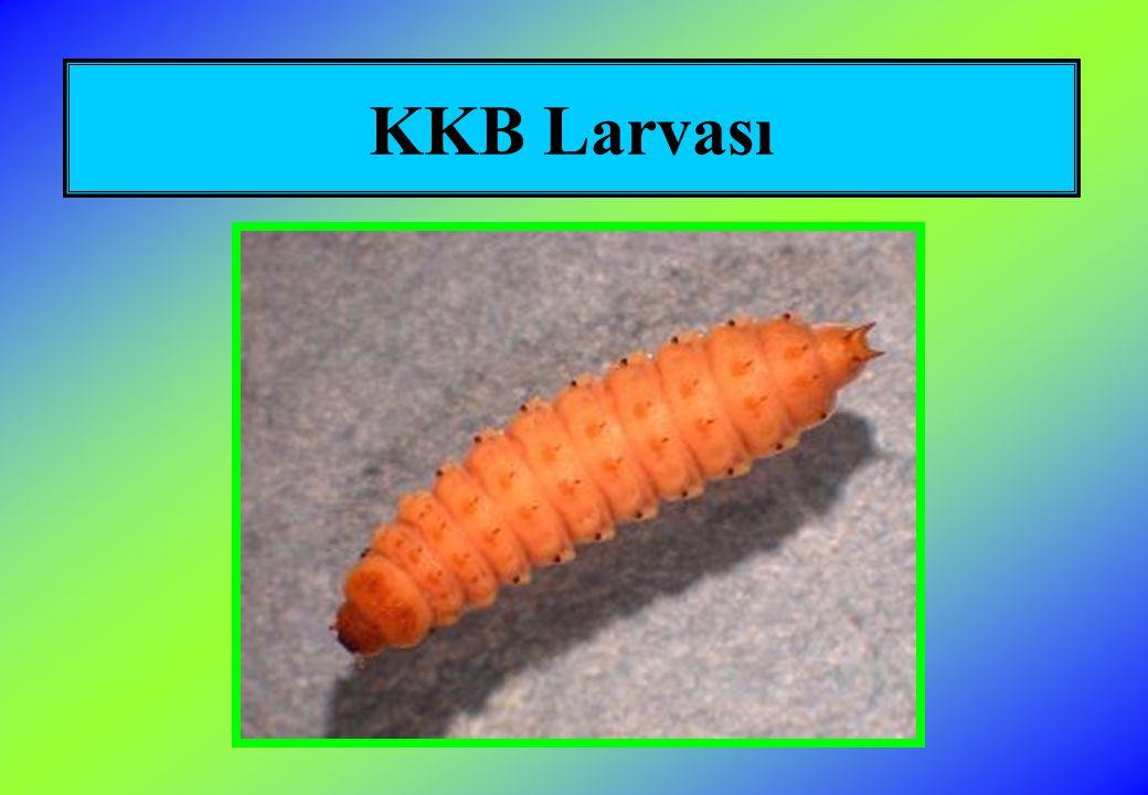 KKB Larvası