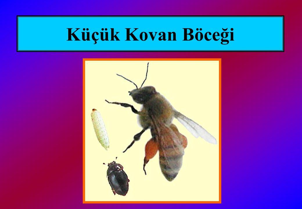 Küçük Kovan Böceği