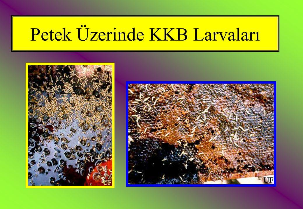 Petek Üzerinde KKB Larvaları