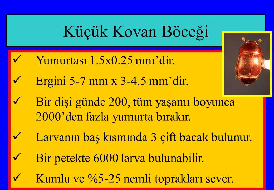 Küçük Kovan Böceği Yumurtası 1.5x0.25 mm'dir.