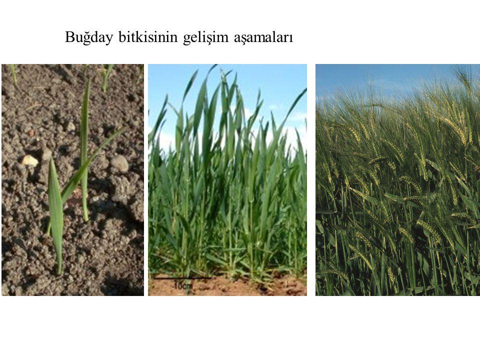 Buğday bitkisinin gelişim aşamaları