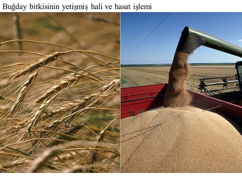 Buğday bitkisinin yetişmiş hali ve hasat işlemi