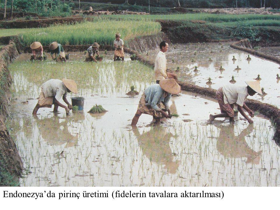 Endonezya'da pirinç üretimi (fidelerin tavalara aktarılması)